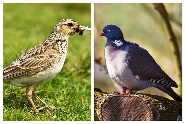 skylark-and-pigeon